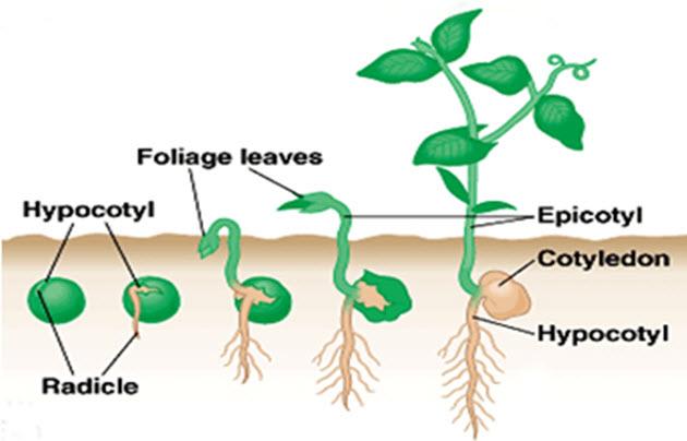 perkecambahan hipogeal