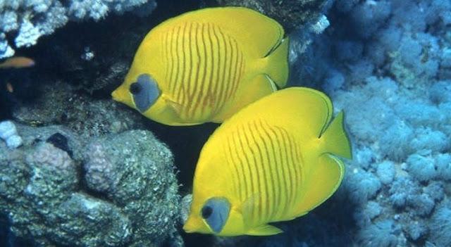 jenis ikan hias butterfly fish