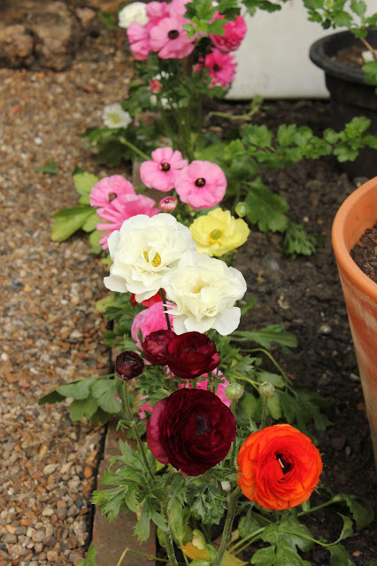 Ranunculus blooms edging a gravel path in the cutting garden