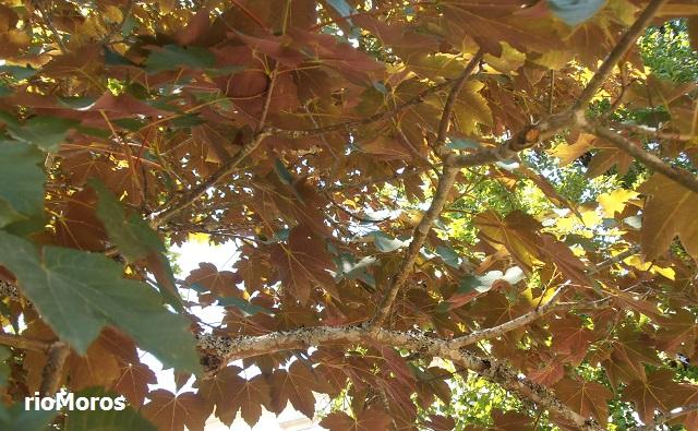 Acer pseudoplatanus var. purpureum Sicomoro rojo