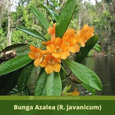 Bunga Azalea (R.javanicum)