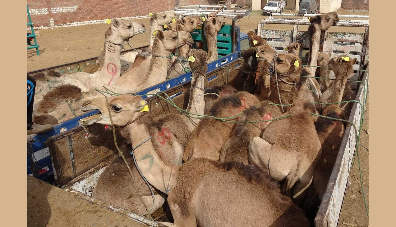 Camel cost becomes 2.5 million from 25 thousand on reaching Bangladesh