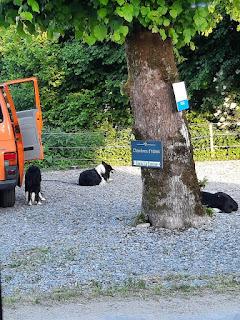 4 honden die zorgen dat de schapen bij elkaar blijven