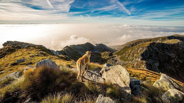 Golden Retriever Hiking Dog