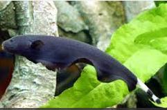 Jenis Ikan Hias Air Tawar Aquarium  Black Ghost  Listrik