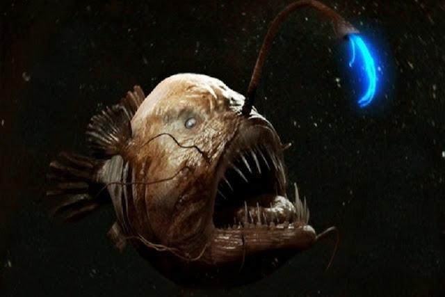 Anglerfish / Ikan Sungut Ganda