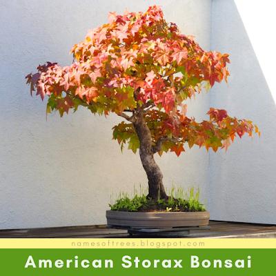 American Storax Bonsai