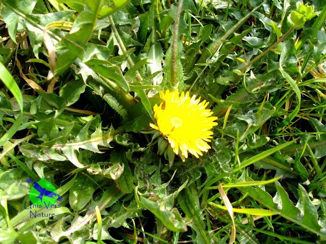 Cuisine pissenlit, identification, rosette, fleurs stage plantes sauvages Jura