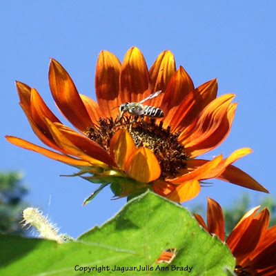 Autumn Beauty Sunflower Blossom and Bee