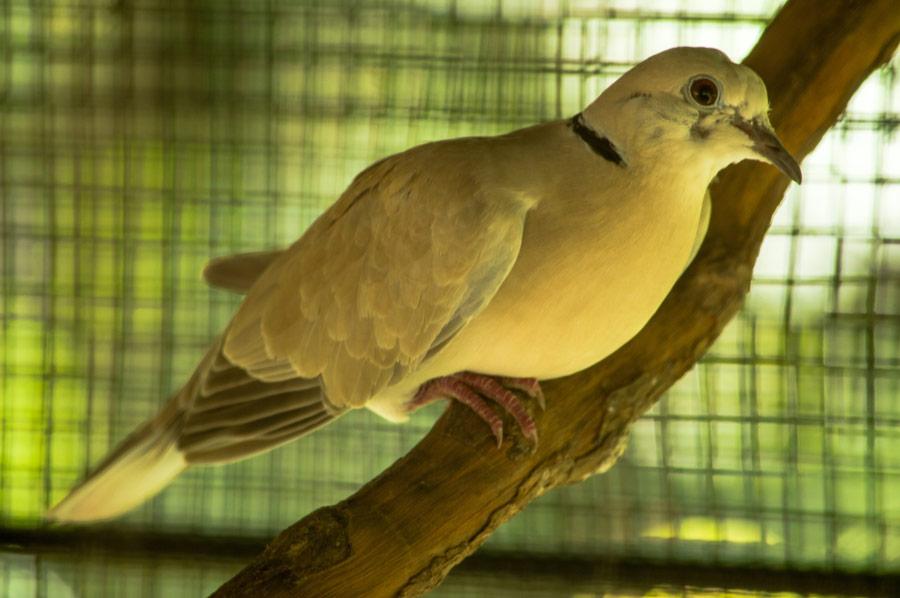 Dove in Captivity