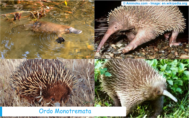 Daftar spesies hewan monotremata