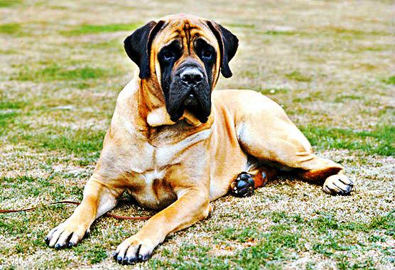 Mastiff chien de garde