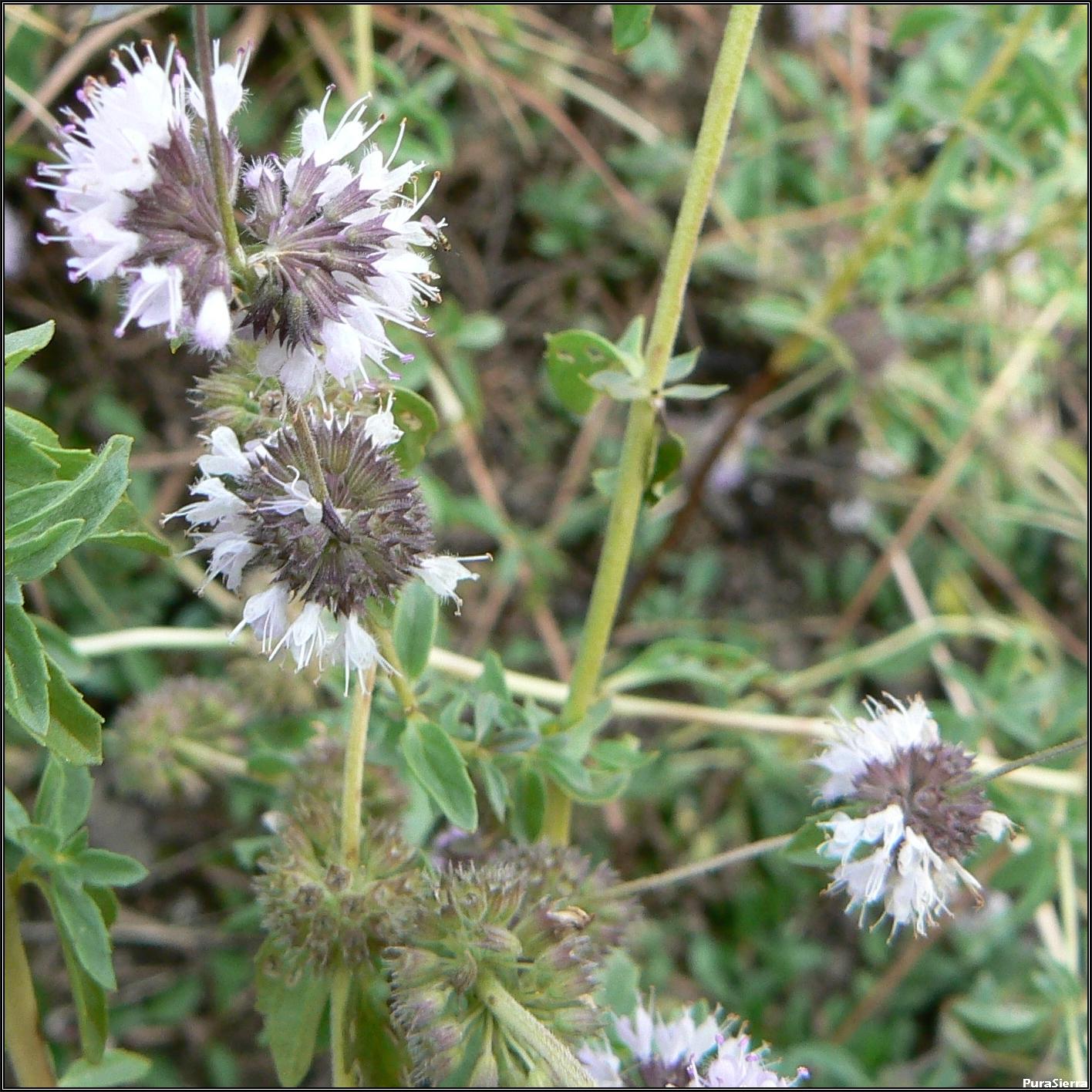 Té de menta (poleo) en flor