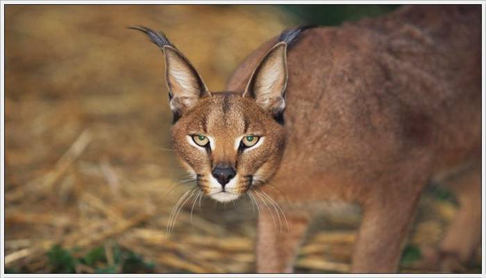 Strange Facts: Big Beautiful Cats - photo#37