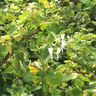 Honeysuckle vines in a bush on Lovers' Leap Trail.