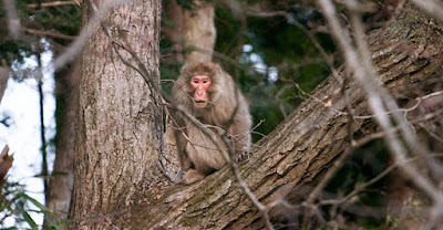 The Fukushima Monkey Problem
