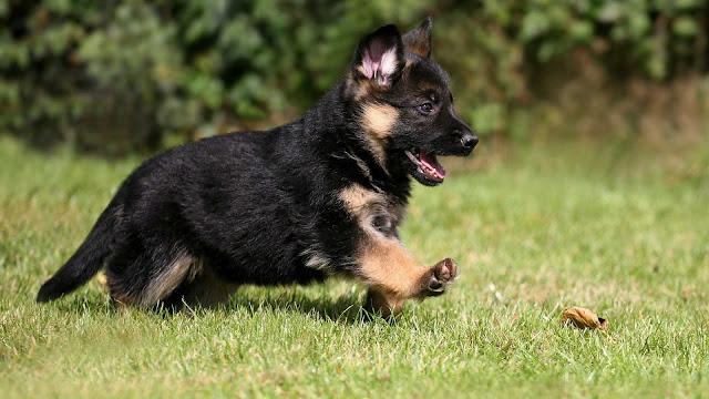 german shepherd puppy dog wallpaper