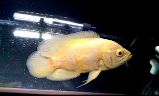 Informasi cara merawat ikan oscar secara mudah