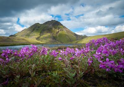 Vistas a la montaña desde un suelo lleno de flores típico de julio en Islandia