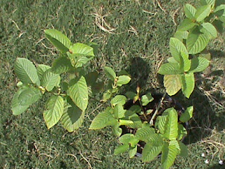 Growing Kratom Guide