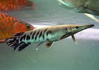 Jenis Ikan Tropical Gar (Atrасtоѕtеuѕ Tropicus)