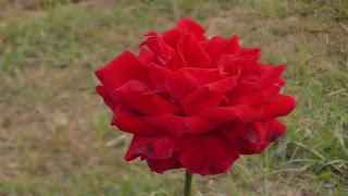Rose Flower in National Rose Garden Delhi 2079