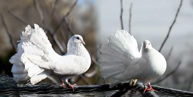 Pigeon in Hindi-कबूतर पर निबंध