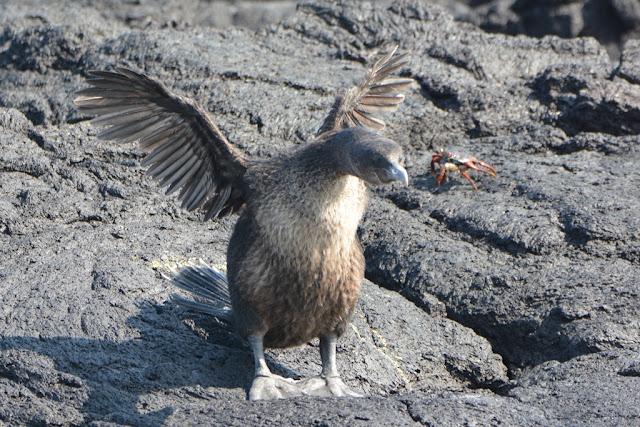 Punta Morena cormorant
