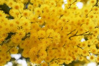 Acacia dealbata, plantas invasoras, aprender paisajismo, especies exóticas
