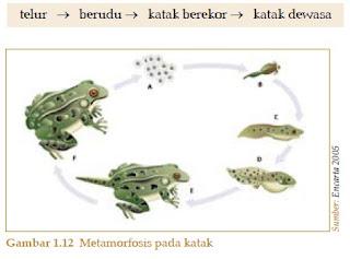 fase Metamorfosis