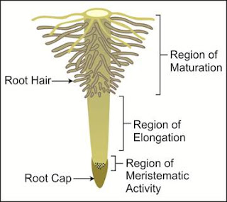 Region of the Root