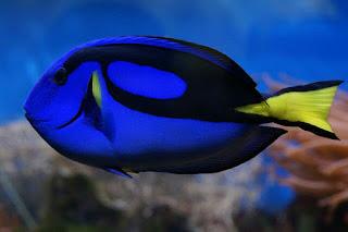 Jenis Ikan Hias Air Laut yang Mudah Dipelihara dan Gambarnya