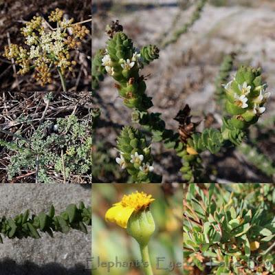 Slangkop flower and leaf pairs in April