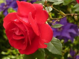 Mawar Merah untuk Kesehatan Dan Kecantikan