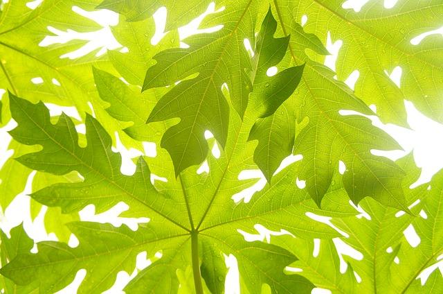 manfaat daun pepaya untuk kulit.