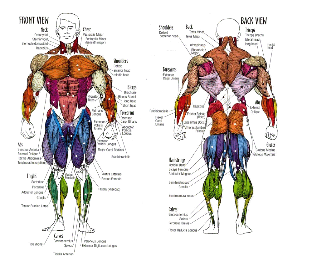 Muscle anatomy of human body