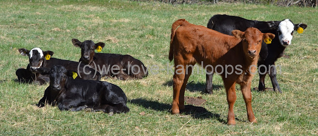 All five calves were looking at the camera for this photo