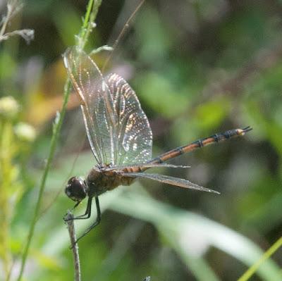 Four-spotted Pennant (Brachymesia gravida)
