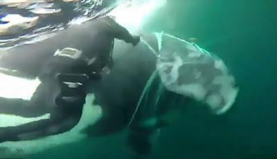 Penyelamatan ikan paus pembunuh