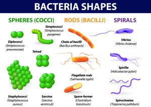 Cara MENGKLASIFIKASIKAN BAKTERI,Jenis Bakteri Menurut Bentuk
