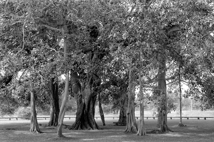Pondichéry, Auroville, banian, © L. Gigout, 1990