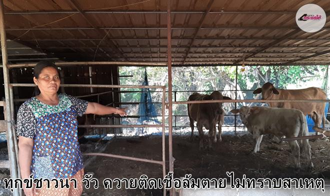 คลิป-ทุกข์ชาวนา ประสพปัญหาภัยแล้ง เคราะห์ซ้ำสัตว์เลี้ยง วัว ควายติดเชื้อล้มตายไม่ทราบสาเหตุ
