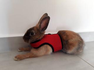 rabbit ready for walk