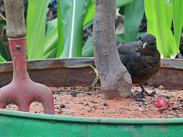 A blackbird in the Meditarranean Biome at Eden Project, Cornwall