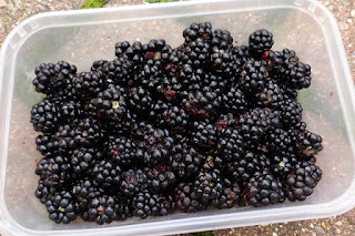 advice for blackberry pickers