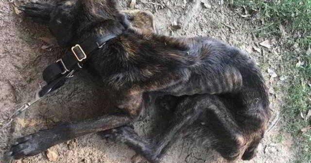 Женщина месяц морила голодом собаку бросившего ее бойфренда…Видео спасения и восстановления собаньки!