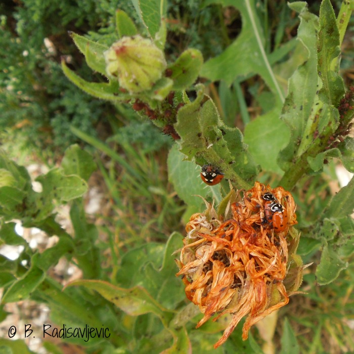 Ladybugs Mating - Caught in the Act