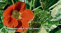 Tip Top Alaska Deep Orange