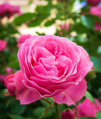 Rose Images And Photos