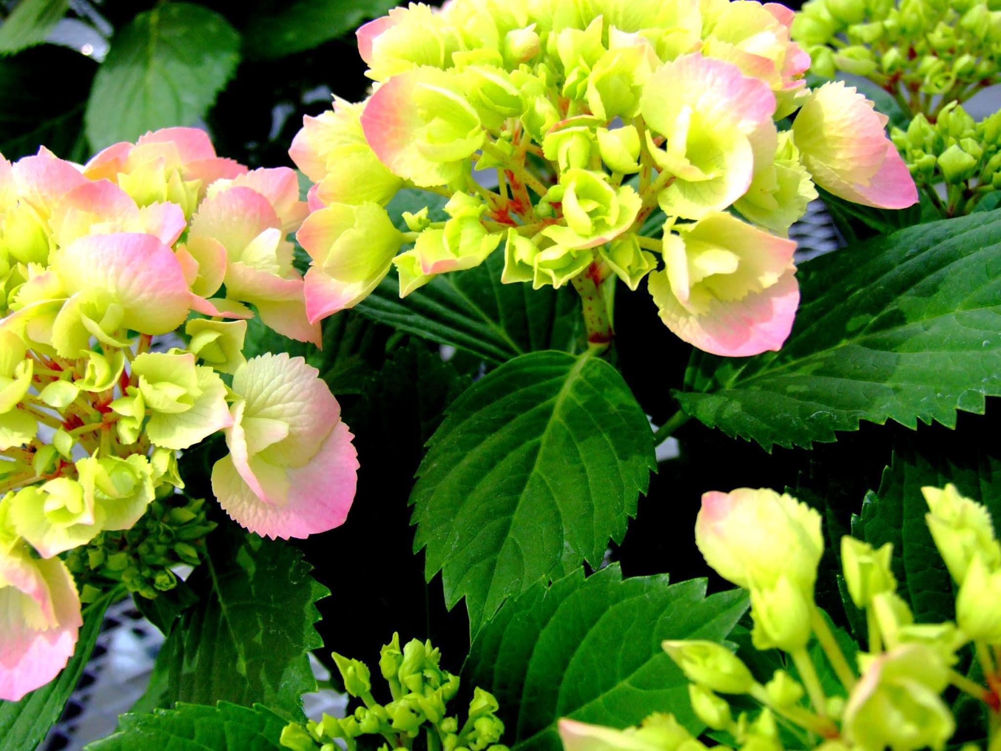 薄いピンクと淡い緑の色合いがとても可愛いガクアジサイです。優しそうな雰囲気が可愛いですよね。